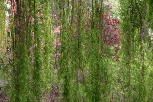 weeping-willow-1443782-m