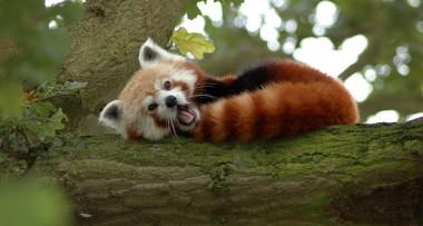 380x203-1438529267-panda-cervena-ilustracni-foto-brnenska-drbna