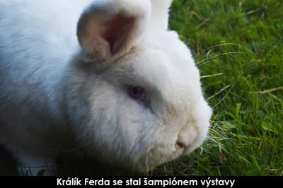 šámpion Výstavy-králík Ferda