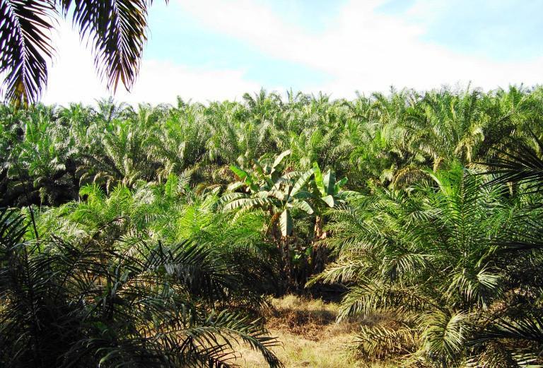 Řeknete ne palmovému oleji? Tuzemští výrobci začali s jeho nahrazováním, odpor veřejnosti sílí