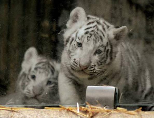 Najdete jména pro tygřata?