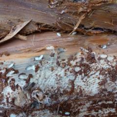 Na Frýdlantsku hrozí reálně kůrovcová kalamita. Týká se i smrků v zahradách!