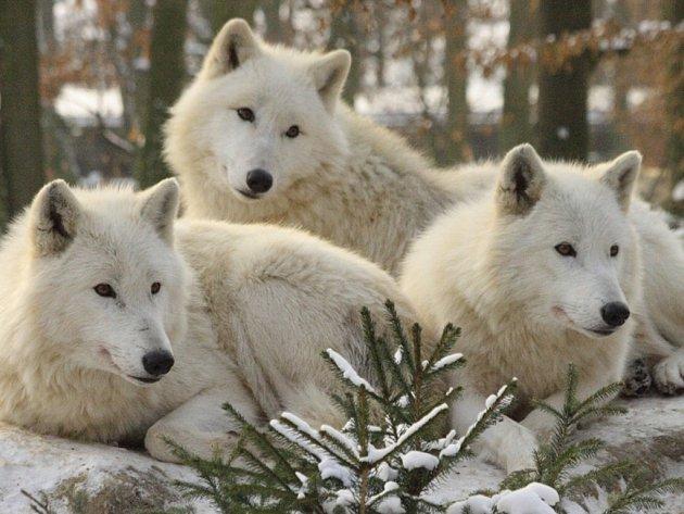 Vlci arktičtí v liberecké ZOO