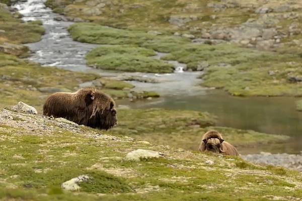 Liberecká zoo po více než čtvrtstoletí přestane chovat pižmoně