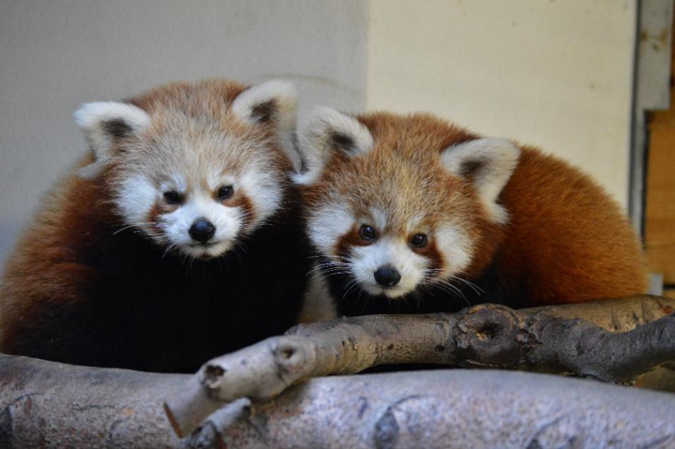 Loňská mláďata Deshi a Jia-Li