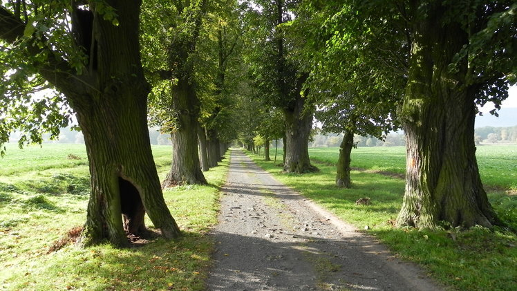 stromy_v_alejich_budou_zdravejsi_kraj_predlozil_tri_projekty_na_jejich_osetreni_medium