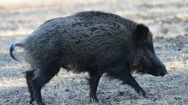U divočáka na Frýdlantsku našli parazita, platí zvláštní opatření