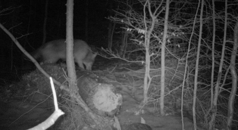 Na Frýdlantsku žijí nejméně dva vlci, prozradily je stopy ve sněhu