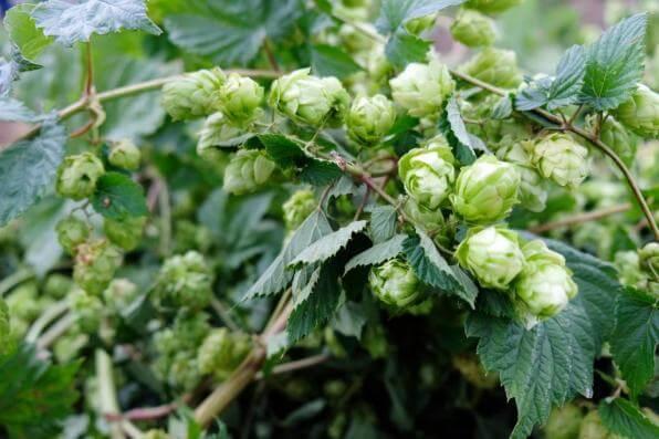 Z Frýdlantského chmele bude opět uvařeno pivo 12°Hospodář i 11°Čeledín