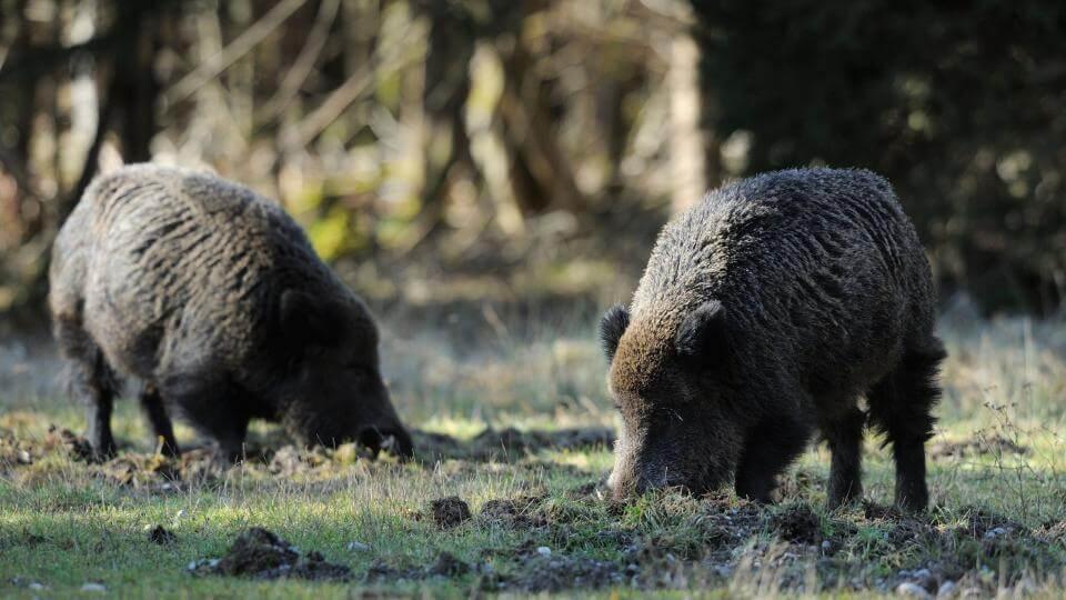 Za ulovený kus 2 tisíce korun, za uhynulé zvíře 3. Zóna intenzivního lovu divočáků v kraji