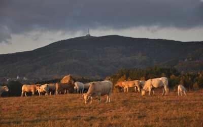 Vlci napadli stádo jalovic, uprchlý dobytek se toulá na hranicích s Polskem