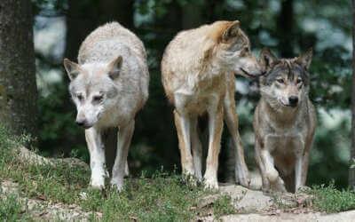 Vlkům se v Česku daří, počet jejich teritorií se zvýšil