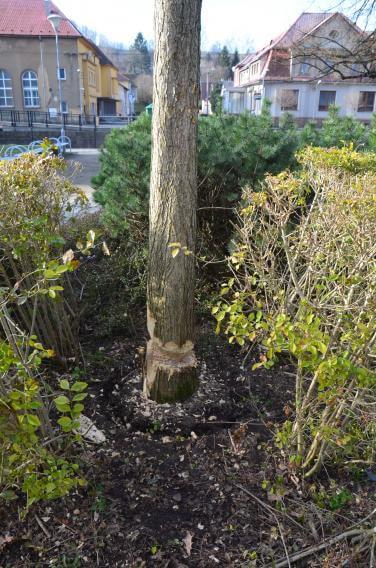 Město Frýdlant podává trestní oznámení za poničení vzrostlého stromu v parku